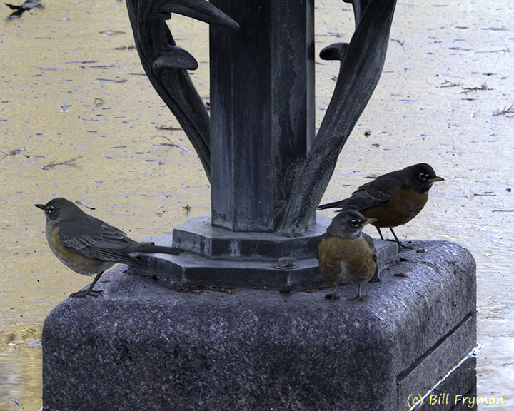 Robins on Guard