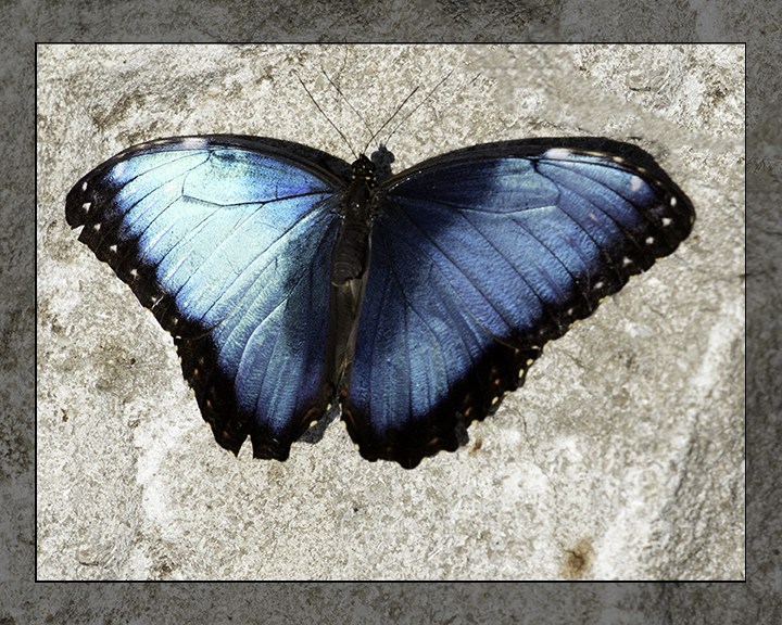 Another Blue Morpho